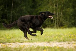 Labrador rennt