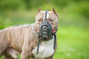 Foto Staffordshire Terrier mit Maulkorb